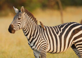 Zebra with Oxpecker