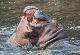 Hippos fighting in the Grumeti River