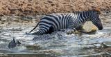 Nile Crocodile with Zebra