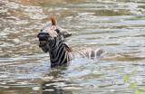 Zebra struggling to escape