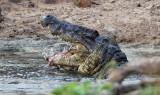 Nile Crocodile feeding