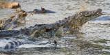 Nile Crocodiles fighting over zebra carcass