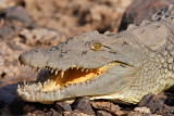 Young Nile Crocodile