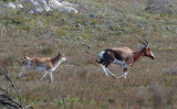 Blesbok and calf