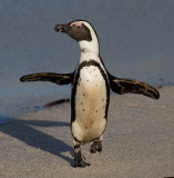 African Penguin on Boulders Beach