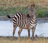 Zebra in Silale Swamp