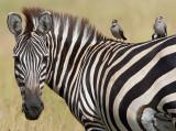 Zebra with passengers