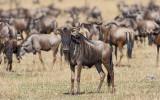 Wildebeest Herd near Lobo