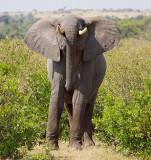 Elephant intimidating us