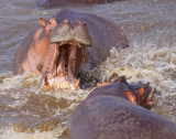 Hippos fighting in the Mara River