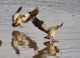 Egyptian Geese landing in the Mara River
