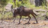 Wildebeest Crossing the Bologonja River