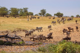 Wildebeest and Zebras Crossing the Bologonja River