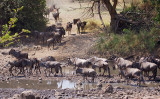Wildebeest Crossing the Grumeti River