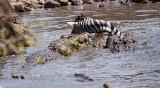 Nile Crocodiles feeding