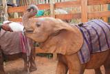 Orphan Elephant gets a bottle