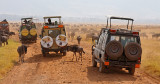 Tourist vehicles surrounded by Wildebeest Herd