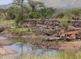 Wildebeest drinking at the Grumeti River