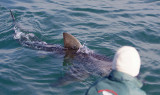 Great White Shark (Rob Lawrence in foreground)