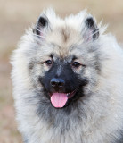 Figment the Keeshond