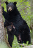Bears in Great Smoky Mountains National Park (2007 & 2008)
