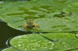 Tiny Frog on Lily Pad