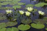 Lilies at the Biltmore Estate