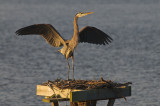 Blue Heron at Leesylvania