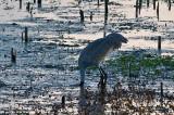 Sandhill Crane Having Breakfast on the Prairie