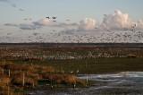 Sandhill Cranes, Cranes, Cranes