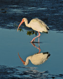 Ibis and its Relection