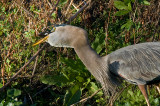 Great Blue Heron About to Swallow an Amphiuma