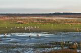 Sandhill Cranes on the Prairie