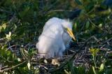 Great White Egret Chick