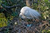 Great White Egret on Nest