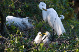 Great White Egret and Chicks