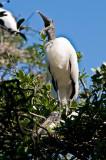 Wood Storks on Nest