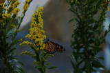 Monarch Passing thru the Eastern Shore