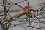 House Finch after Ice Storm