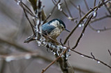 Nuthatch after Ice Storm