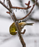 Goldfinch Eating Ice