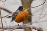 Robin -- Spring Is Almost Here in VA