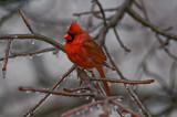 Cardinal after Ice Storm