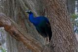 Peacock in Old Oak Tree