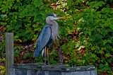 Blue Heron on Lake Montclair