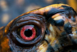 Eastern Box Turtle Eye to Eye