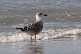 Great Black-backed Gull Bk[JE604]
