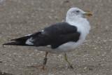Lesser Black-backed Gull Bk[J2LT]
