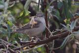 Sylvia nisoria - Barred Warbler
