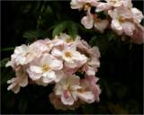 Renae - a wonderful climbing rose